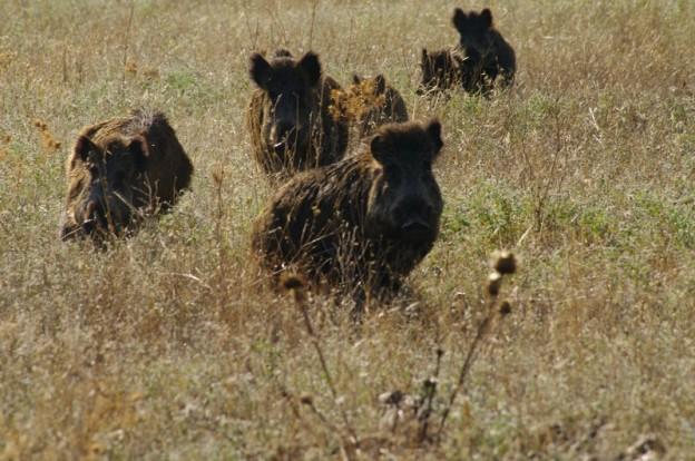 Jabalies en la raña del Parque Nacional